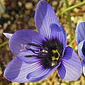 Geissorhiza splendidissima, Mary Sue Ittner