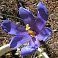 Gelasine uruguaiensis ssp. orientalis, Bob Rutemoeller