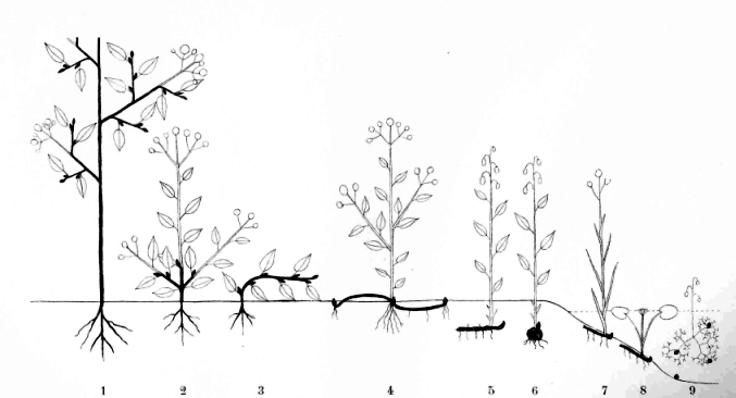 Life forms 1. Phanerophyte, 2-3. Chamaephytes, 4. Hemicryptophyte, 5-9. Cryptophytes (5-6. Geophytes, 7. Helophyte, 8-9. Hydrophytes), Therophyte, Aerophyte and Epiphyte not shown, Chr. Raunkiær