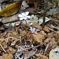 Geosiris aphylla, iNaturalist, Romer Rabarijaon, CC BY-NC