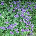Geranium × magnificum, David Pilling