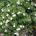 Geranium richardsonii, Paige Woodward