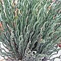 Gethyllis ciliaris, Alan Horstmann