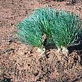 Gethyllis grandiflora, Alan Horstmann