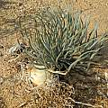 Gethyllis namaquensis, Rachel Saunders
