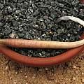 Gethyllis roggeveldensis, Paul Cumbleton