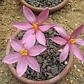 Gethyllis transkarooica, Paul Cumbleton
