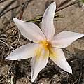 Gethyllis verrucosa, Andrew Harvie