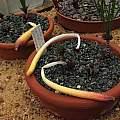 Gethyllis verticillata, Paul Cumbleton