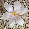 Gethyllis villosa, Julian Slade