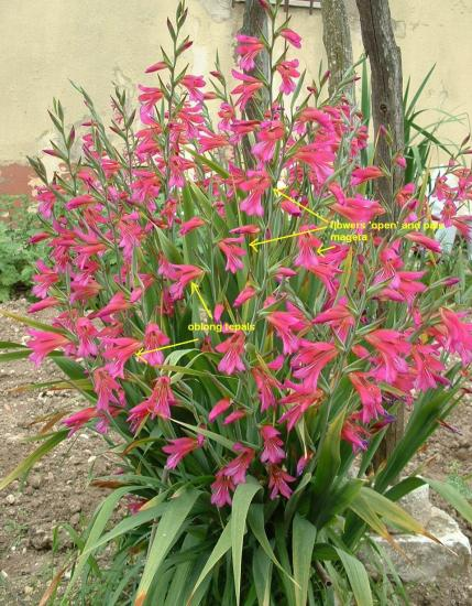 Pacific Bulb Society Miscellaneous Gladiolus