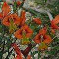 Gladiolus alatus, Mary Sue Ittner