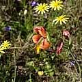 Gladiolus alatus, Michael Mace