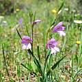 Gladiolus anatolicus, Oron Peri