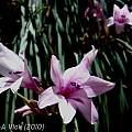 Gladiolus aquamontanus, Jan and Anne Lise Schutte-Vlok