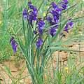 Gladiolus atroviolaceus, Oron Peri