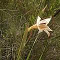 Gladiolus bilineatus, Rachel Saunders