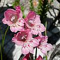 Gladiolus brevifolius, Cameron McMaster