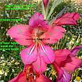 Gladiolus byzantinus, Angelo Porcelli