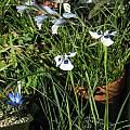 Gladiolus caeruleus, Telos Rare Bulbs, Nhu Nguyen