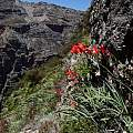 Gladiolus cardinalis, Rachel Saunders