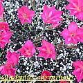 Gladiolus carmineus, Bill Dijk