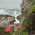 Gladiolus carmineus, habitat Hermanus, Cameron McMaster