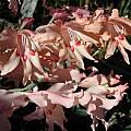 Gladiolus carneus, Jana Ulmer