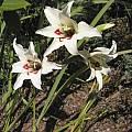 Gladiolus carneus, Bob Rutemoeller