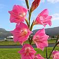 Gladiolus caryophyllaceus, Alan Horstmann