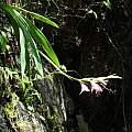Gladiolus cataractarum habitat, Rod Saunders