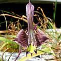 Gladiolus ceresianus, Alan Horstmann