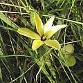 Gladiolus trichonemifolius, Bob Rutemoeller
