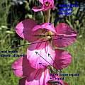 Gladiolus communis, Angelo Porcelli