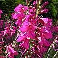 Gladiolus communis ssp. byzantinus, Bob Rutemoeller