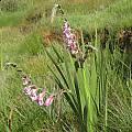 Gladiolus crassifolius, Sentinel Peak, Cameron McMaster