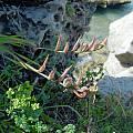 Gladiolus cunonius seed capsules, Cameron McMaster