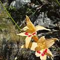 Gladiolus cylindraceus, Witsenberg, R. Saunders