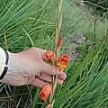 Gladiolus dalenii, Balloch, Bob Rutemoeller