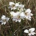 Gladiolus debilis, Silvermine, Andrew Harvie