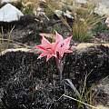 Gladiolus dolichosiphon, Rachel Saunders