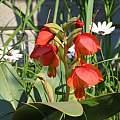Gladiolus equitans, Alan Horstmann