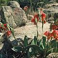 Gladiolus equitans, Rod Saunders