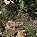 Gladiolus floribundus, Andrew Harvie