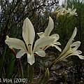Gladiolus floribundus, Jan and Anne Lise Schutte-Vlok
