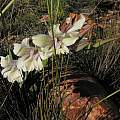 Gladiolus grandiflorus, Bob Rutemoeller