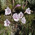 Gladiolus hirsutus, Napier, Cameron McMaster