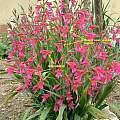 Gladiolus italicus, Angelo Porcelli