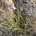 Gladiolus kamiesbergensis, Andrew Harvie