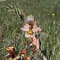Gladiolus meliusculus, Darling, Bob Rutemoeller